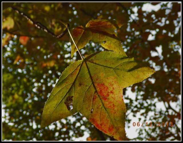 開始轉紅的黃葉