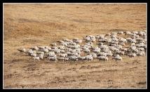 若爾蓋大草原的羊群