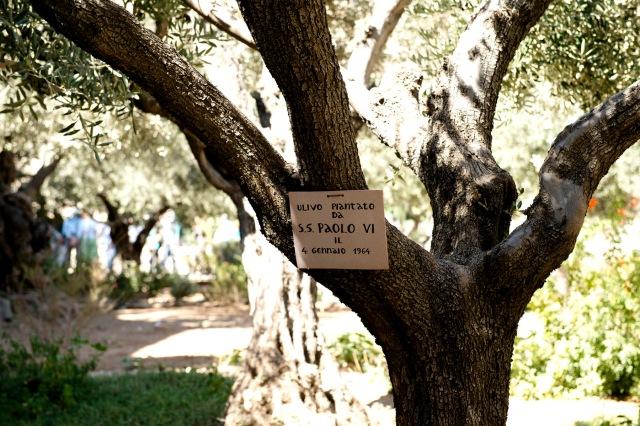 古老的橄欖樹