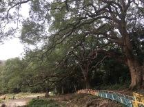 第三大樟樹群